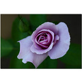 rose flower closeup lavender