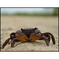 A couple fiddler crabs found along the shoreline.