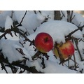 frozen food apples snow twig