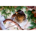 wildlife bird thrush winter SonyA700 SAL70300GSSM