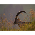 alpine ibex Augstmatthorn Switzerland