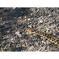 gophersnake snake