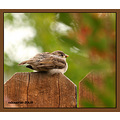bird house sparrow