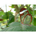 Transparent butterfly2