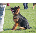 dog german shepherd