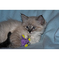 Animal cat Ragdoll kitten