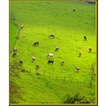nature field cow cows animal animals France spring april