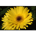 stlouis missouri us usa plant flower macro yellow 2007