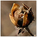shapesfriday seedpod morninggloryfamily vine