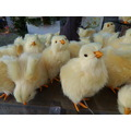 Chicks on display in Edgemont Village