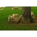 Lambs baby animals sheep tree Brackenhurst