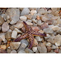 seastar pebbles