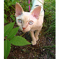 cat devon rex