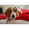 beagle dogs animals