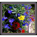 The red (Verbena) the blue (Electric Blue Lobelia Monsoon), the yellow ( Calibrachoa).  Meg Met...