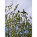 magpie bird animal light pole bushes