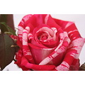 zespook Lucknow India rose flower