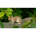 garden squirel rodent pest bushy wildlife