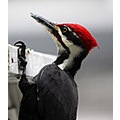 birds pileated woodpecker Burnaby BC Canada