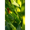 nature green maize zoom