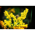 bumble bee yellow flower insect