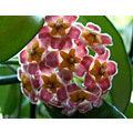 This is also a hoya plant.