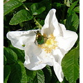 A green rose chafer for Benny...