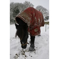 Joe joe horse fellpony fell winter snow horses animals pets