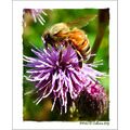 Bee Thistle Honey Mossyrock Washington USA