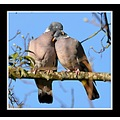 true love woodpigeons birds nature bird carlsbirdclub somerset somersetdreams