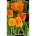 stlouis missouri usa flower bud tulip orange macro bokeh 041811