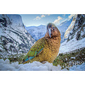 Kea on the Milford Road