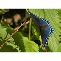 Butterfly inspect blue purple