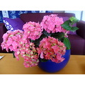 plants flowers hortensia