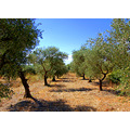 olive trees sillans provence
