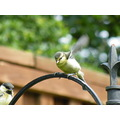 garden wildlife bluetits