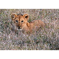 Lion Kenya Wildlife Cub Animals MasaiMara