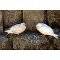 zespook lucknow india pigeons