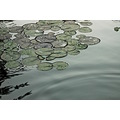 Yaddo lilypads nature water ponds