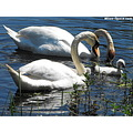 mute swans mute swan swans swan bird waterfowl adult young