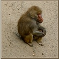 netherlands amersfoort zoo animal monkey nethx amerx zoox animx monkx