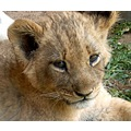 AnteolpePark Lions Cubs WorkingwithLions Zimbabwe
