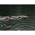 common merganser hens