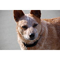 Rowdy Australian Cattle Dog Red Heeler