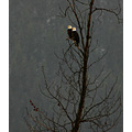 Bald Eagles Birds BC Canada