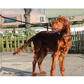 dog setter irish red