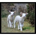 lambs sheep cute animals woolacombe devon carl bovis uk nature
