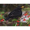 Blackbird and the berries