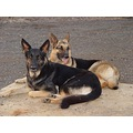 German shepherd my friends dogs of Hawaii
