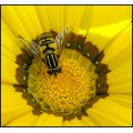 hoverfly macro flower insect yellow